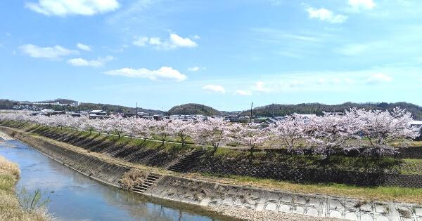 加東市の桜