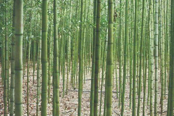 竹藪の写真
