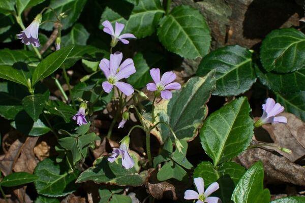 紫のカタバミの写真