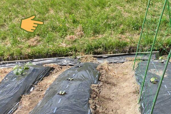 雑草と黒マルチの写真
