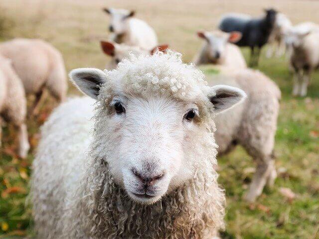 餌を待つ羊の写真