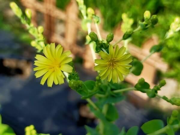 サラダ菜の花のアップの写真
