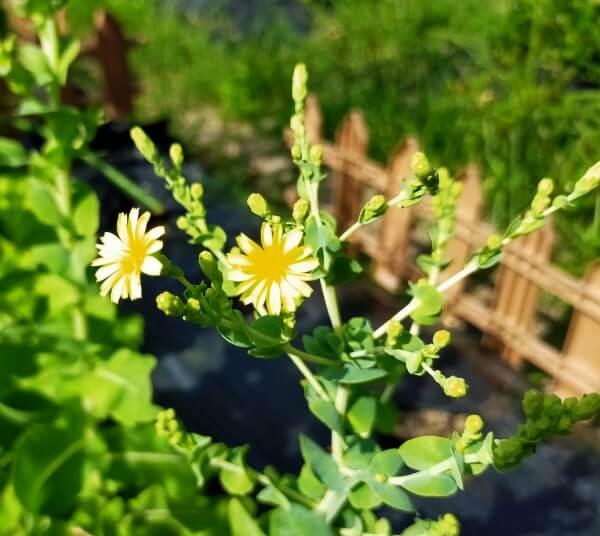 サラダ菜の花の写真