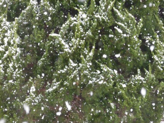 雪と植木の写真