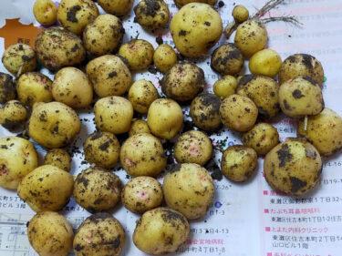 収穫した小さいジャガイモの写真